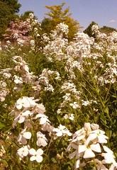 Julienne des dames fleurs