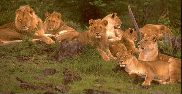 Photo  70 :  lion  :  troupe de lions et lionnes