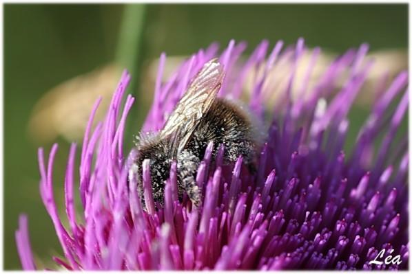 Insectes-2-2014-bourdon.jpg