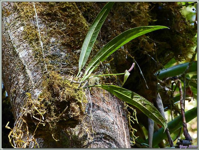 Blog de images-du-pays-des-ours : Images du Pays des Ours (et d'ailleurs ...), Anthurium? Epiphyte? - Cerro de la Muerte - Costa Rica