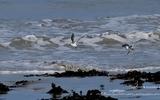 Bécasseau sanderling - p17