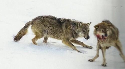 Le loup mal aimé