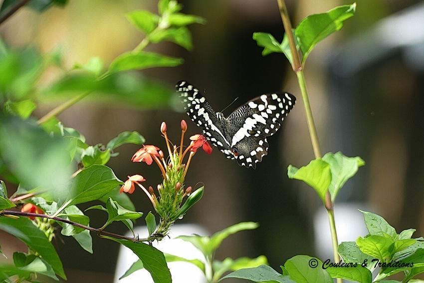 Papillon, grand voilier africain !!