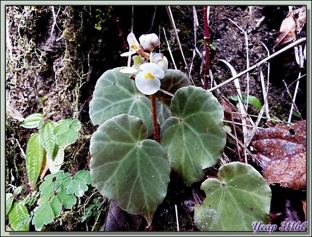 Blog de images-du-pays-des-ours : Images du Pays des Ours (et d'ailleurs ...), Bégonia sauvage - Cerro de la Muerte - Costa Rica