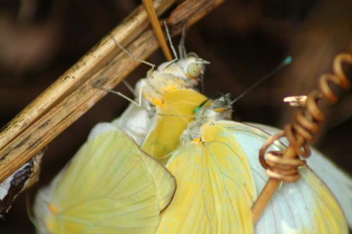 Papillon Guadeloupe à Tival-location