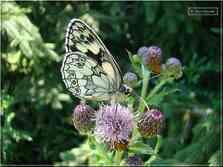 Papillon Le Demi-Deuil Melanargia galathea Nymphalidae