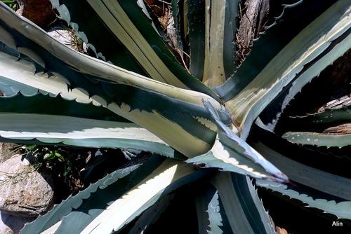 L'agave bicolore !