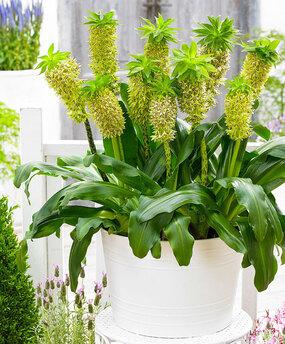 Plante-ananas