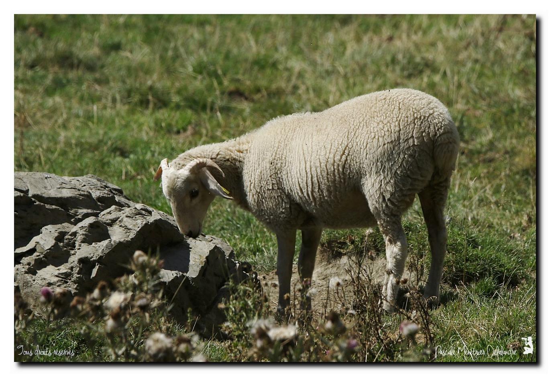Brebis et Vaches en hautes Pyrénées