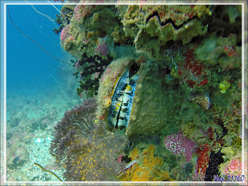 Spondyle variable, Huître à charnières, Spondyle épineux, Thorny oyster (Spondylus varius) - Spot Betalinjona - Nosy Tsarabanjina - Archipel Mitsio - Madagascar