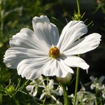 La photo du moment...cosmos blanc