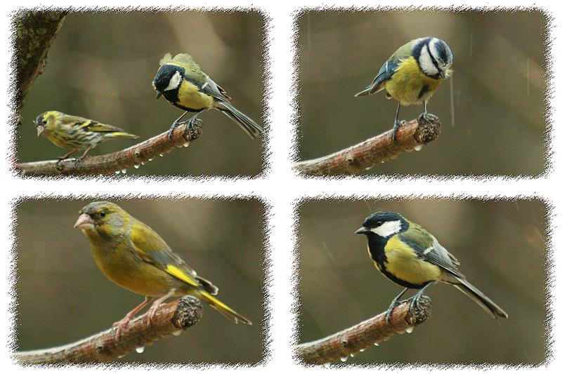 Oiseaux sous la pluie - Lartigau - Milhas - 31