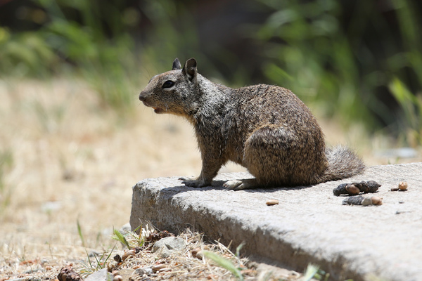 Catalina Island - California ground squirrel