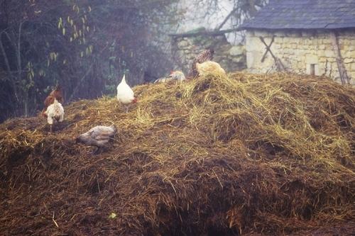 Les poules de nos campagnes