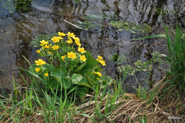 Populage des marais (Caltha palustris) Ranunculaceae