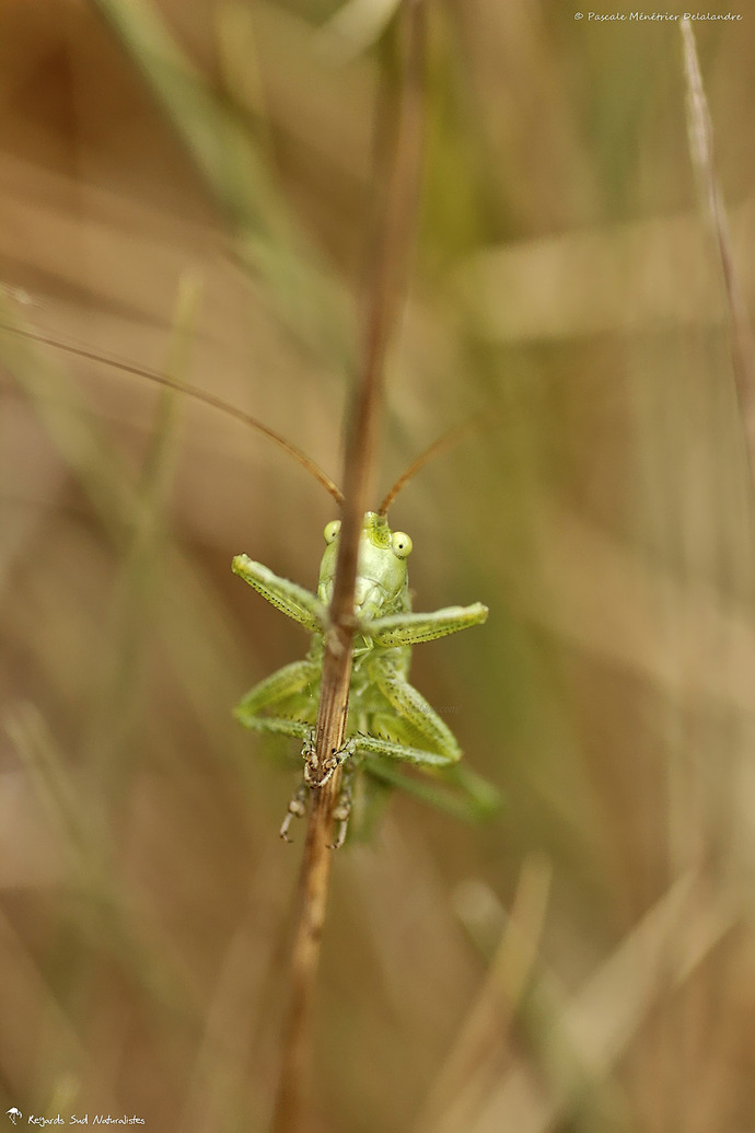 Sauterelle ♂ de la famille des Tettigoniidae