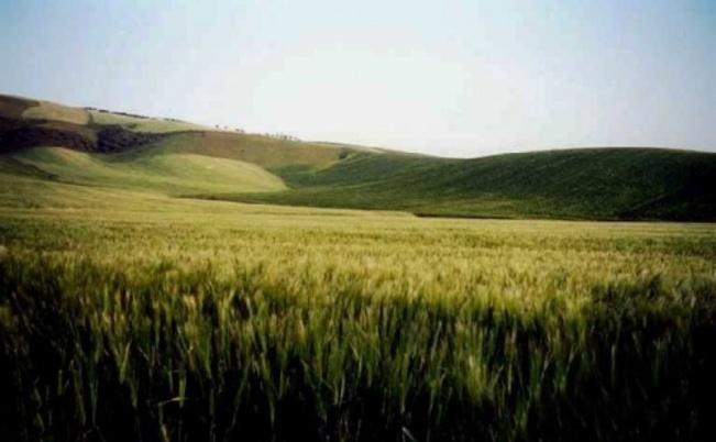 Champs de blé, sur la route de Bizerte