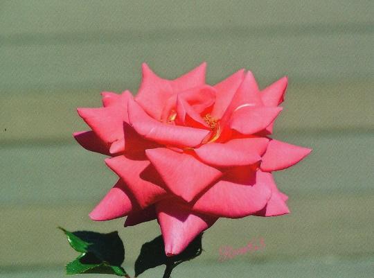 Eclats d'automne et de rose!