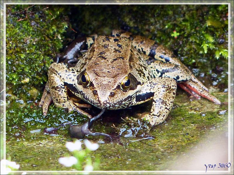Confirmation de ce que j'avais filmé : les grenouilles tentent bien de croquer les bébés crapauds mais leur goût fait qu'elles les recrachent - Lartigau - Milhas - 31