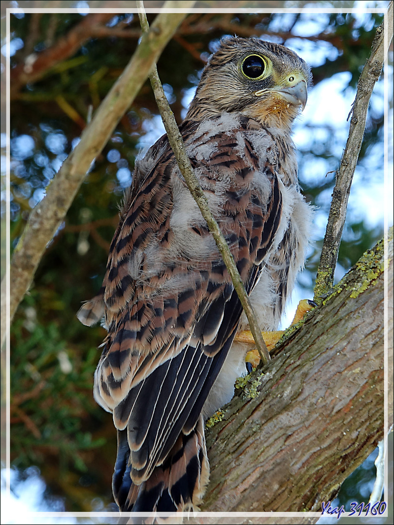 Le poussin d'Emouchet ou Faucon crécerelle, Common Kestrel (Falco tinnunculus) a bien grandi ! - La Couarde-sur-Mer - Ile de Ré - 17