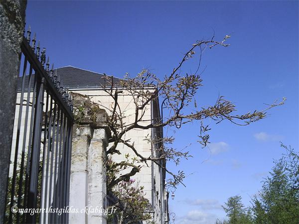 La glycine de Saumur - The wistaria of Saumur