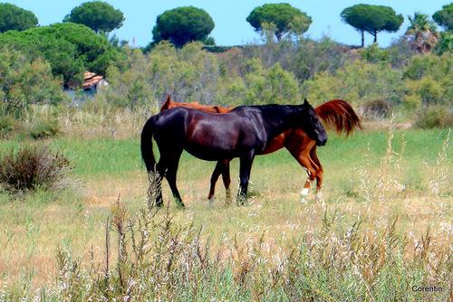 Les deux chevaux ...