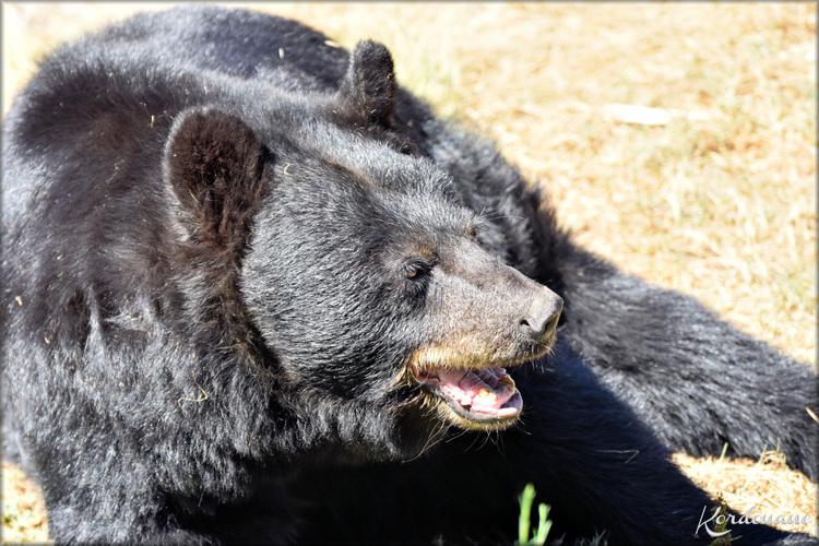 Photos d'Ours noir - Zoo du Bassin d'Arcachon