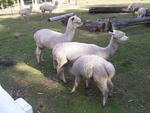 Glenshiel Alpaca Stud