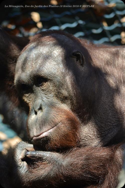 Ménagerie du Jardin des Plantes : L'Orang-Outan (2)