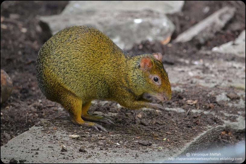La Ménagerie, Zoo du Jardin des Plantes :  L'Agouti à dos noir