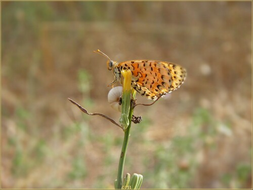 Papillons Mélitée orangée