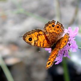 Mégère (femelle du Satyre) ou Lasiommata Megera - La femelle est plus claire et sans bande brune