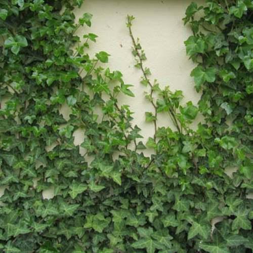 Vertus médicinales des plantes sauvages : Lierre grimpant