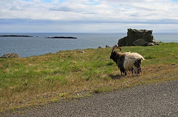 800px-Icelandic goat