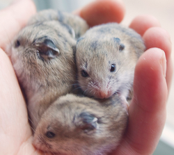 bebes hamsters chinois