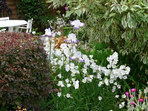Campanule Chettle Charm & Iris Conjuraiton