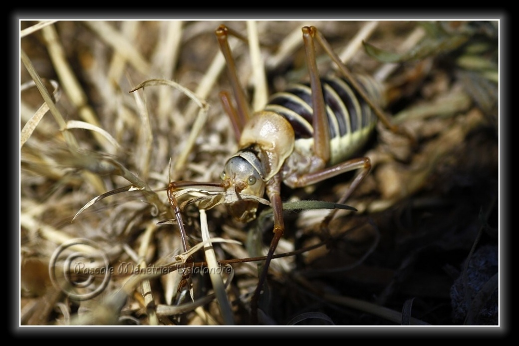 Ephyppigère des vignes femelle...