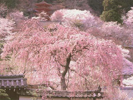 Prix cerisier du japon