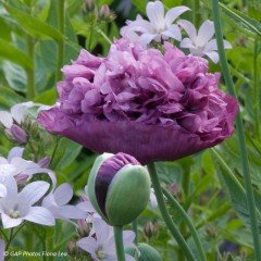 Graines de Pavot Purple Peony - Papaver somniferum