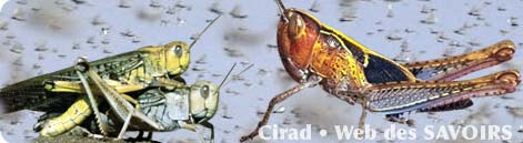 "Les crickets envahissent la capitale ""TANA""."
