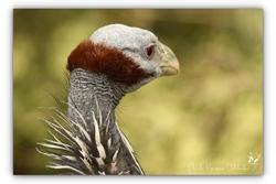 Pintade vulturine - Sigean