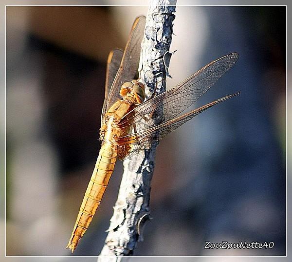 LIBELLULE-JAUNE-29-05-2012-TB-IMG_3664.JPG