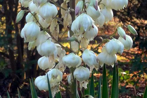 Les fleurs du yucca