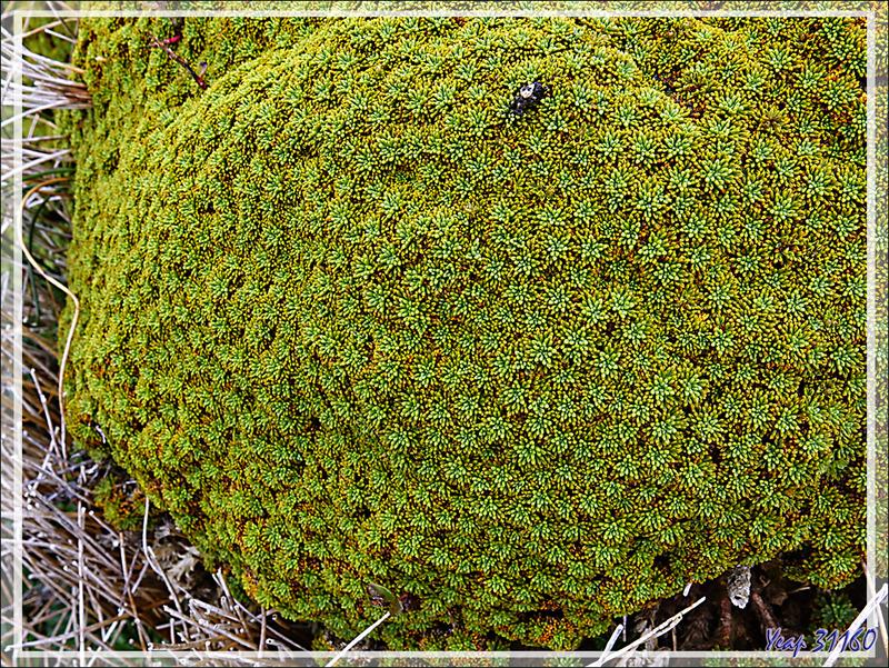 Coussins des Andes,  Llareta (Es), Balsam bog (An), Tanna-wola (Yagan) (Bolax gummifera) - Île du Cap Horn - Patagonie - Chili