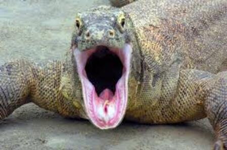 El gigantesco dragón de komodo