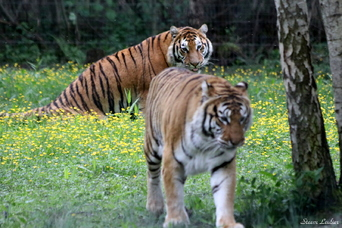 Tigre de Sibérie, Tigre de l'Amour (panthera tigris altaica)