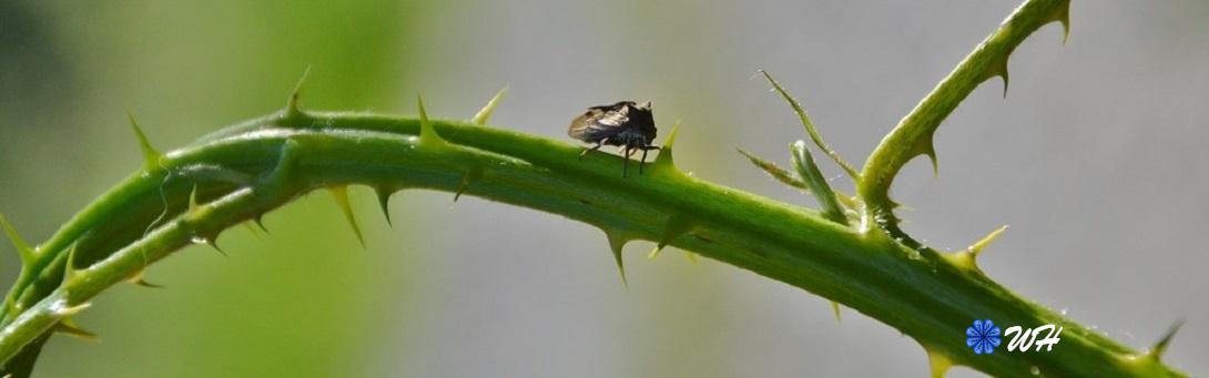 Demi-diable ou Cigale épineuse (Centrotus cornutus) Membracidae