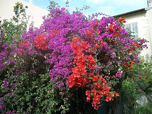 bougainvillee 01