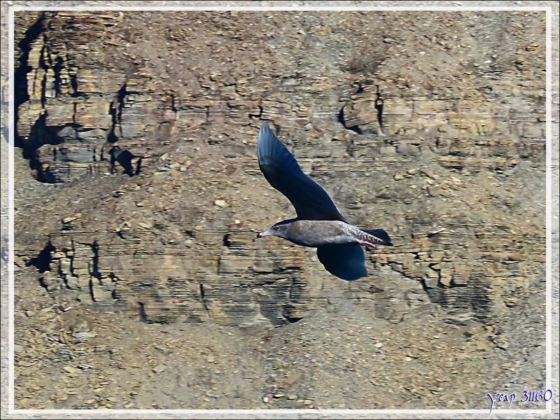 Peut-être un Puffin à pieds pâles, Flesh-footed Shearwater (Puffinus carneipes) ? - Crocker Bay - Devon Island - Baffin Bay - Nunavut - Canada