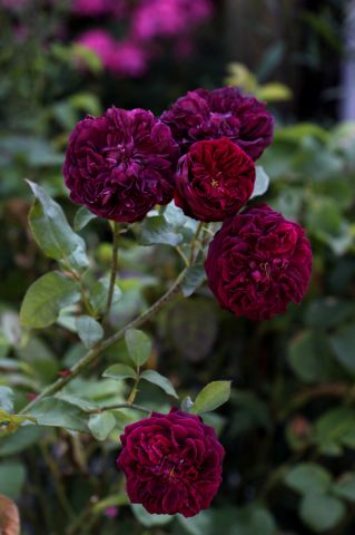 rosiers anglais